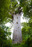 Waipoua Kauri Forest Royalty Free Stock Images