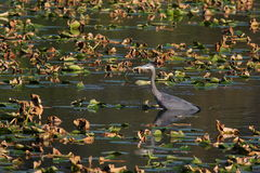 Waist deep for dinner. This heron is waist deep in the pond searching for food Royalty Free Stock Image