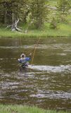 Waist Deep in the Gibbon River. Fly fisherman fishing in the Gibbon River in Yellowstone National Park. He is waist deep in the water and his orange fishing line Royalty Free Stock Photo