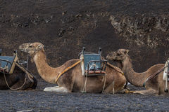 Wait. Dromedaries are waiting for tourists Stock Photo