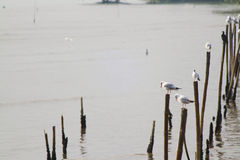 Wait food from group of white seagull foreground soft focus standing on long stick Royalty Free Stock Image