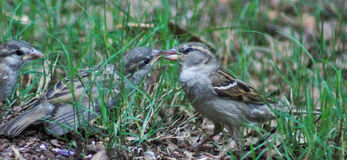 Wait in line sparrows feeding Royalty Free Stock Images