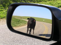 Wait for me!. Along a lonely road in Californa a calf came up alongside my truck - had to take this photo Stock Photos