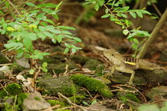 Wait an opportunity. The lizard hides himself under the tree Royalty Free Stock Images