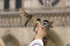 Hungry sparrows in Paris royalty free stock photography