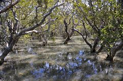 Waitangi river mangrove swamp, New Zealand. The view from the boardwalk which crosses the mangrove swamp on the Waitangi river, before the track reaches the stock photo