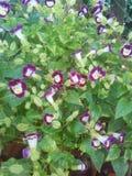 Waite blomma Arkivbild