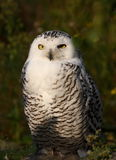 Waiting. A photo of a snow owl royalty free stock photo