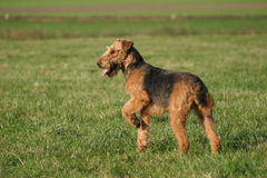 Waiting... Cute Airedale terrier waiting stock photos