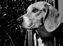 Waiting. BW portrait of a beagle looking far Stock Photos
