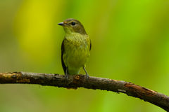 Waiting. Yellow rumped flycatcher can find it in November only, Thailand Stock Photography