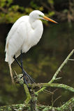 Waiting. Snowy egret Royalty Free Stock Image