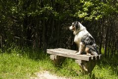 Waiting. An Australian Shepherd dog sits on a woodland bench waiting for someone special Royalty Free Stock Photos