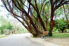 Waiting. Banyan tree and wooden chair, quietly waiting for passing pedestrians Stock Photos