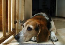 Waiting beagle. A 10-year-old female beagle waiting patiently for attention Stock Images