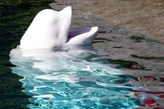 Waiting Beluga. Beluga whale waiting for food Stock Photography
