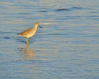 Waiting. Bird waiting on the wave to recede at the beach Royalty Free Stock Photo