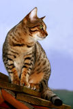 Waiting For Birds. Bengali special breed kitten sitting on a bird box waiting to catch birds royalty free stock photos