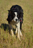 Waiting Border collie Stock Photo