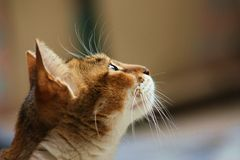 Waiting cat Royalty Free Stock Photography
