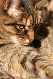 Waiting cat. Cat brown striped like a tiger waiting royalty free stock image
