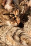 Waiting cat Royalty Free Stock Image