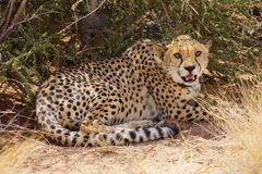 Waiting cheetah in the bush. Waiting cheetah in the grass of namibia Stock Image