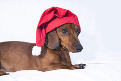 Waiting for christmas. Dachshund with a Christmas cap stock photography