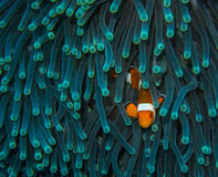 Waiting Clown Fish Stock Images
