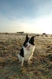 Waiting Command. Working dog waiting Stock Images