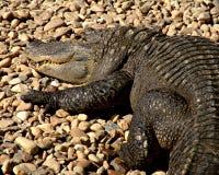 Waiting crocodile. Crocodile resting on some rocks... awaiting lunch royalty free stock photo