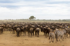 Waiting for the crossing. Kenya, Africa Stock Images