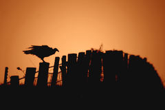 Waiting for death. Buzzard on fence post Royalty Free Stock Photos