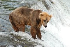 Waiting For Dinner. A Brown bear standing at the top of Brooks Falls waiting for a salmon Royalty Free Stock Photo