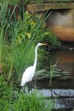 Waiting for Dinner. Egret getting into position for dinner Royalty Free Stock Image