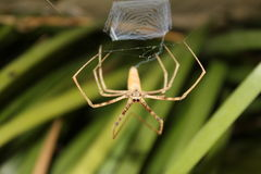Waiting for dinner. Australian Net Casting Spider Deinopis subrufa Stock Photography