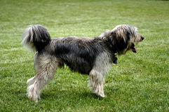 Waiting dog. Picture of dog waiting on the grass Royalty Free Stock Photo