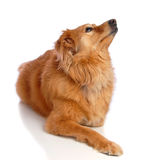 Waiting Dog Royalty Free Stock Image