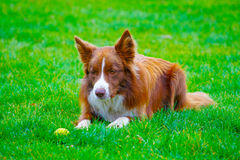 Waiting dog Royalty Free Stock Images