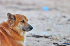 Waiting Dog Royalty Free Stock Photography