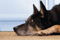 Waiting dog. A faithful shepherd dog waiting for her owner Stock Photography