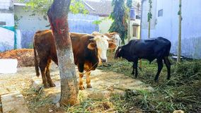 Waiting fo qurban. The cow is waiting to be sacrificed in idul adha royalty free stock photo
