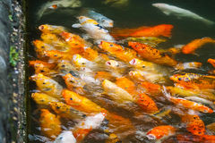 Waiting for food. Koi fish waiting to be fed royalty free stock images