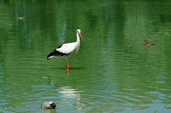 Waiting for a frog ?. Stork in a lake (with a duck Royalty Free Stock Images