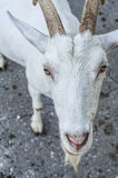 Waiting goat want something from you. Waiting goat in summer time walking outside and want to get something from you Royalty Free Stock Images