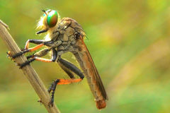Waiting in the grass. Little robberfly waiting in the grass Royalty Free Stock Photo