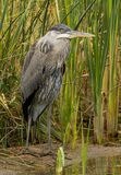 Waiting. A great-blue Heron waits motionless for his next meal Stock Photography