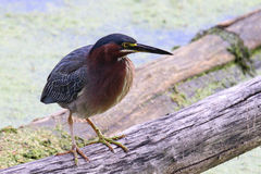 Waiting Green Heron Stock Photo