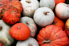 Waiting for the Halloween. Dozens of pumpkins waiting for Halloween slaughter royalty free stock images