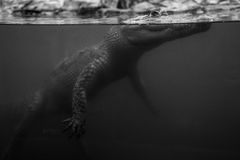 Waiting. Hidden crocodile in water, mexico Royalty Free Stock Photos